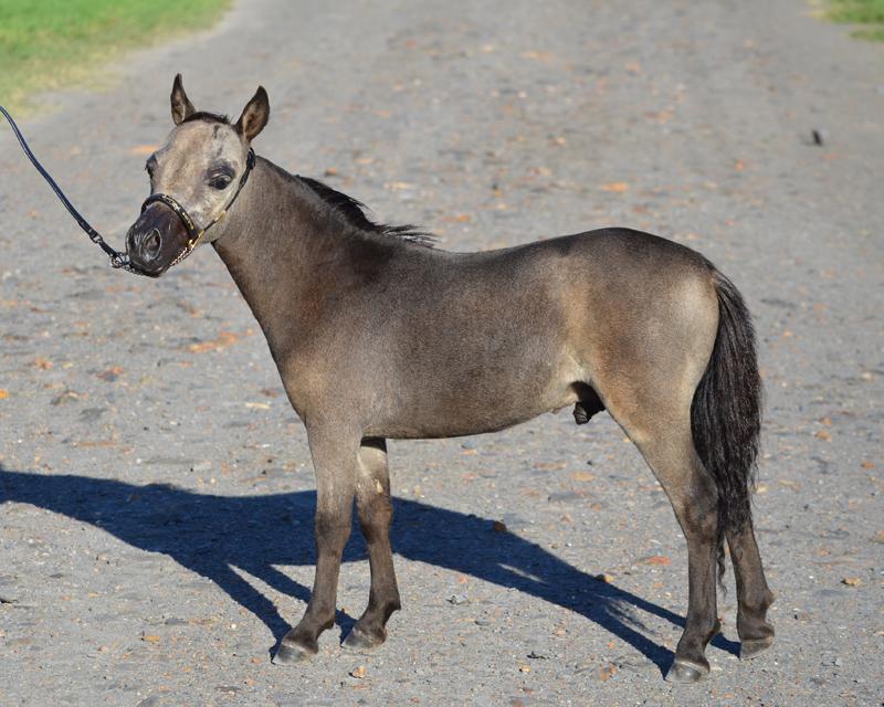 Miniature Horse colt  Glenrowan PB Buck Off