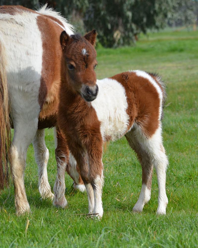 Miniature Horse filly  Glenrowan PB Deja Vu