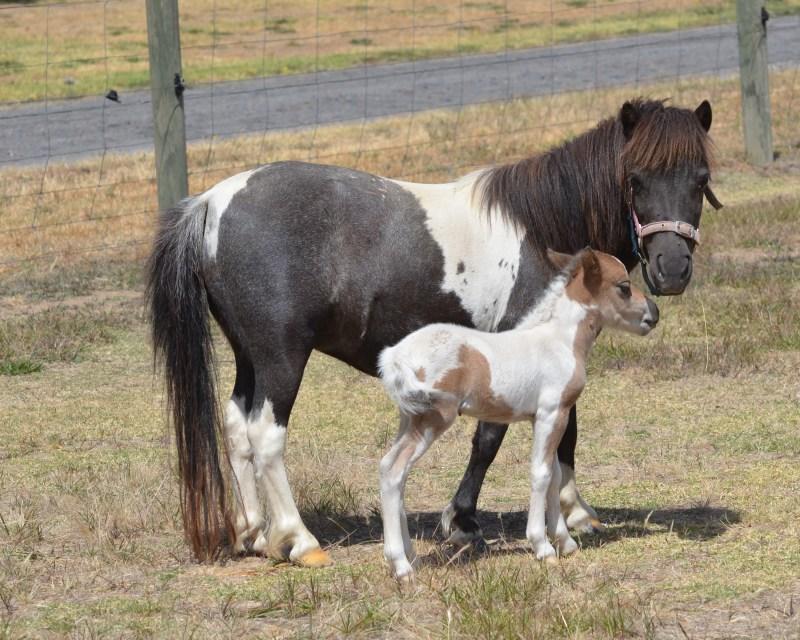 Miniature Horse mare  Mifoopen SO Dark Desire