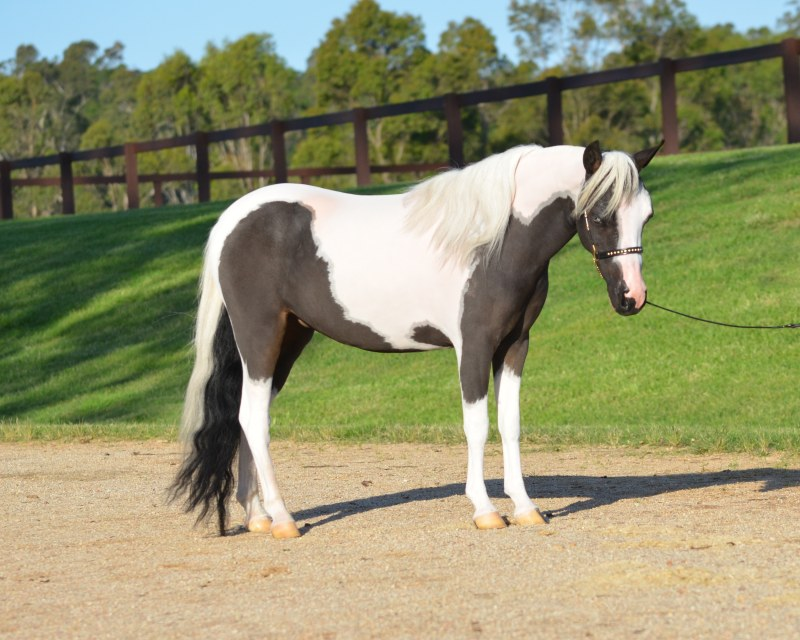 Miniature Horse mare  Glenrowan Rebels Star Diva