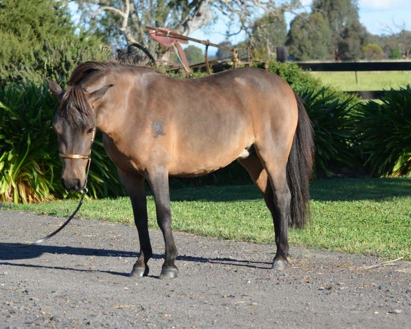 miniature horse breeding woman Car Pictures