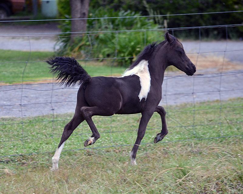 Miniature Horse colt  Glenrowan Whispering Wind