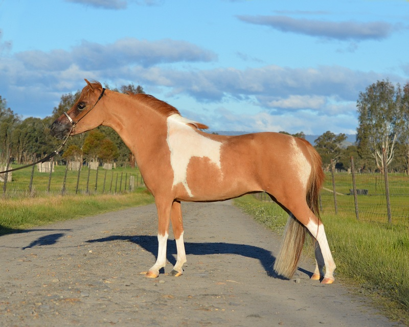 Miniature Horse mare  Linden Eternal Heart