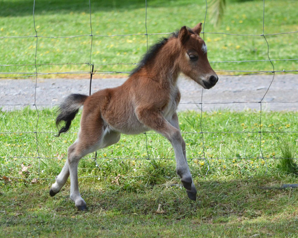 Miniature Horse colt  Glenrowan PB Liv It Up