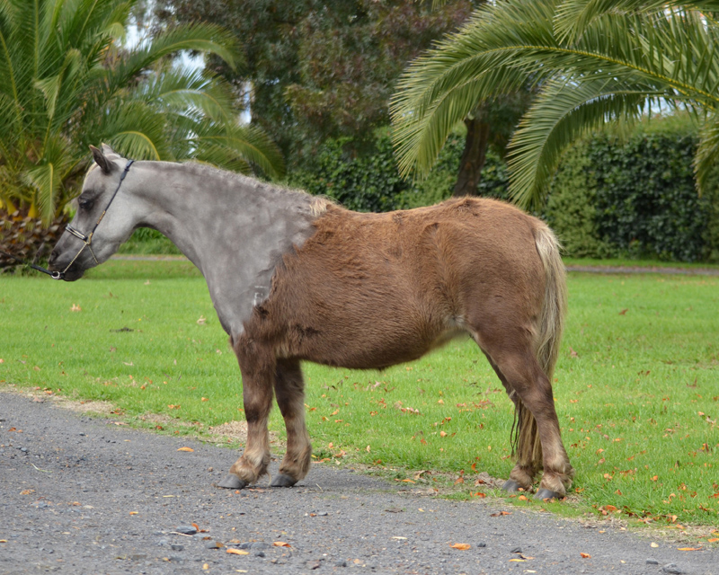miniature horse mare Aurora Park Princely Gift