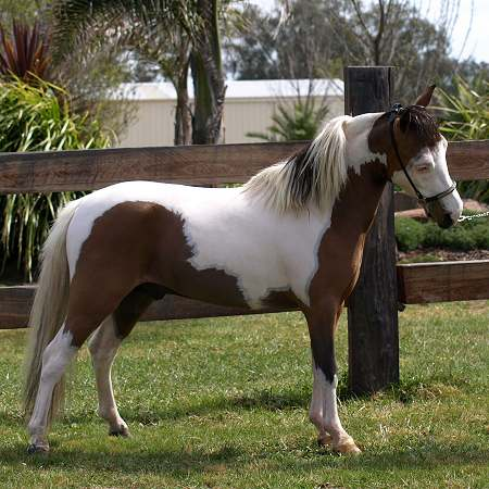 Miniature Horse stallion  LM Hawks Rebel Stand
