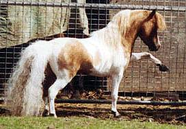 Miniature Horse   SC Legacys Painted Spirit