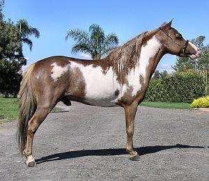 Miniature Horse stallion  Marks Lucky Streak