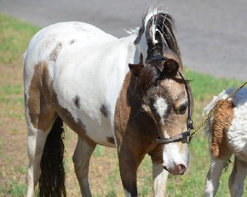 miniature horse mare  Achnacarry Samis Promise To Love <br />         <span class=